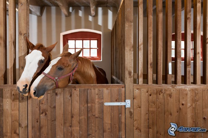 brown horses, stable