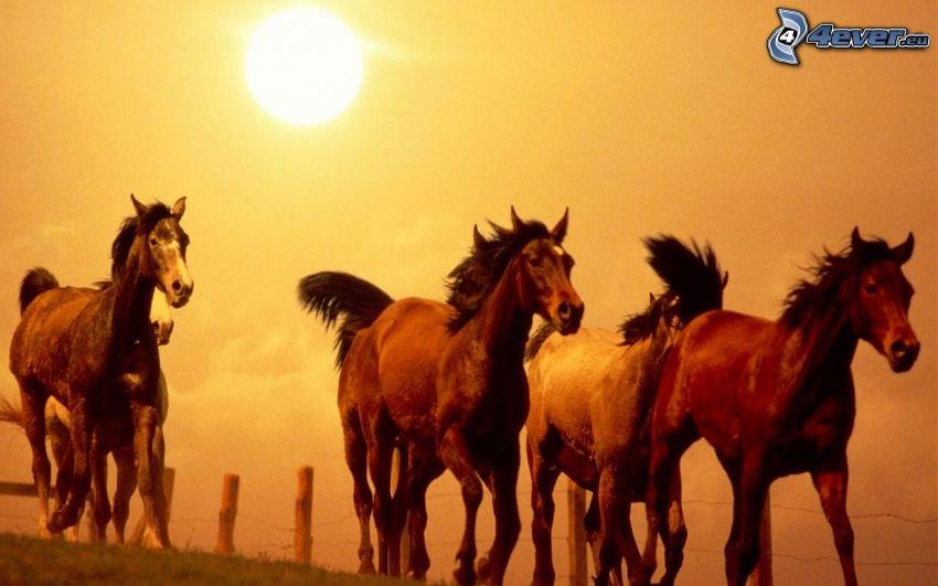 brown horses, sun