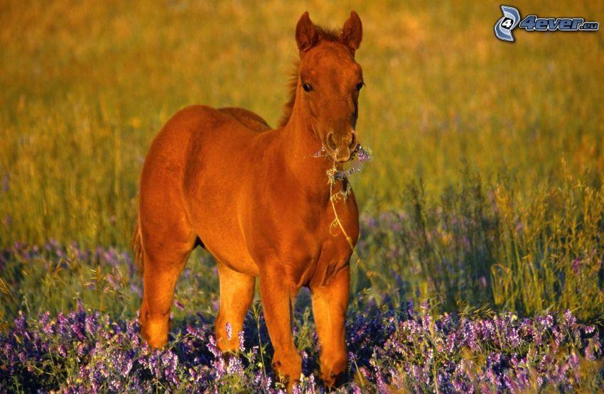 foal, lavender field