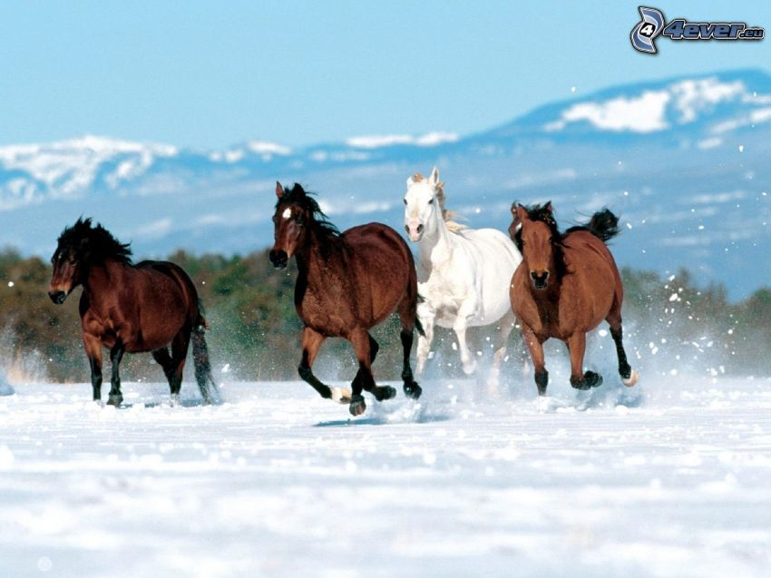 herd of horses, brown horses, white horse, running, snow