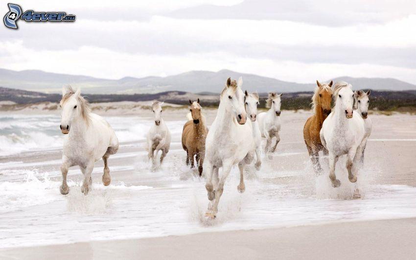 herd of horses, white horses, running, beach, water