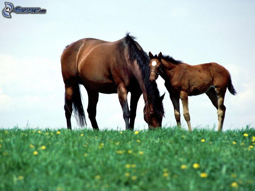 horses, foal, grass, dandelion