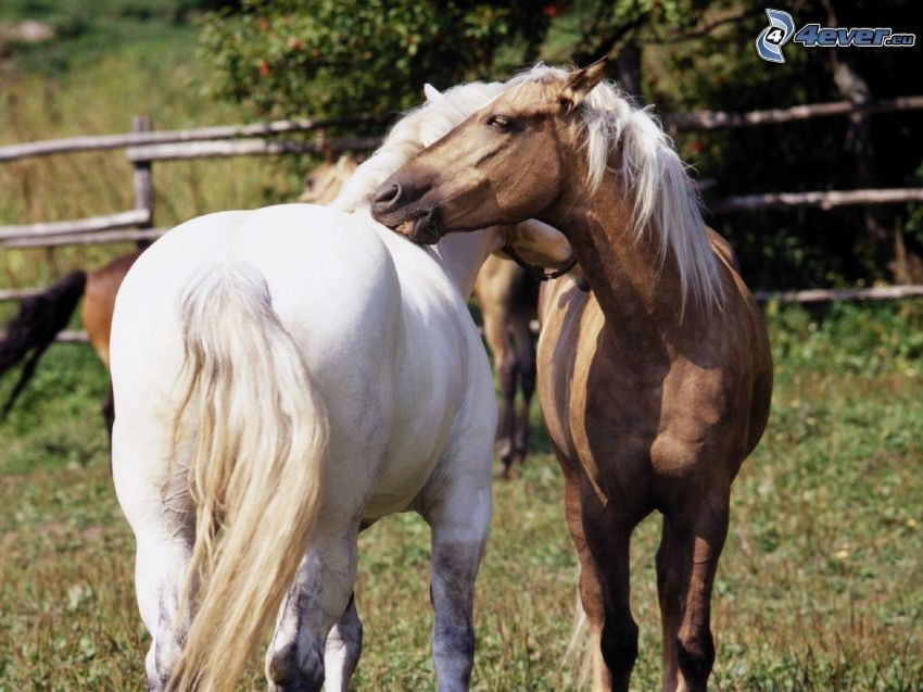 horses, white horse, brown horse