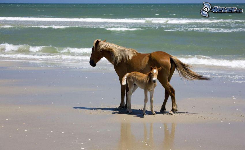 horses on the beach, brown horses, foal, sandy beach, sea