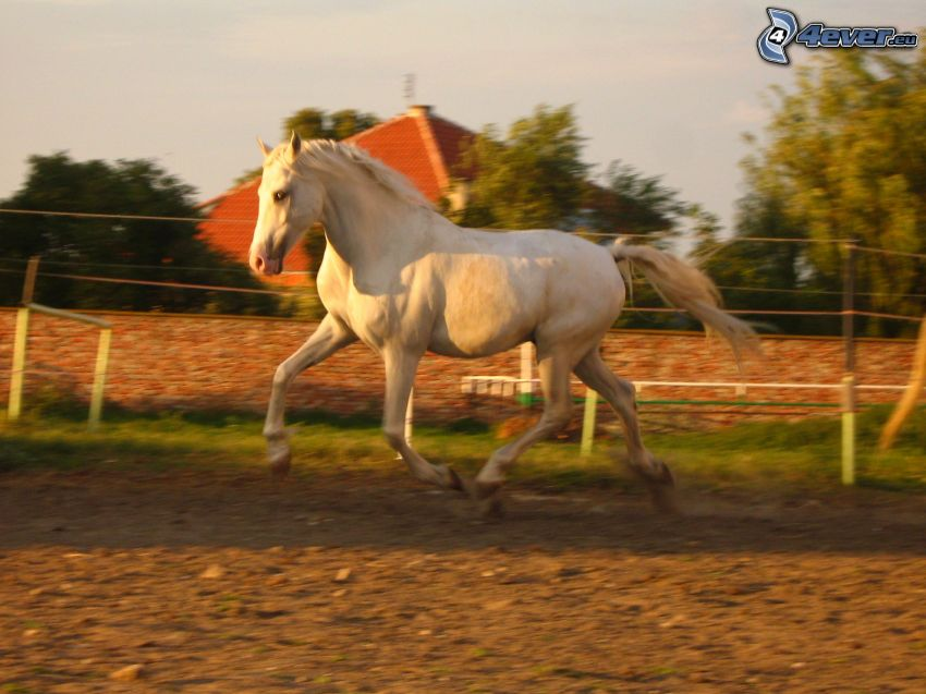 running horse, white horse, the horse in the fence