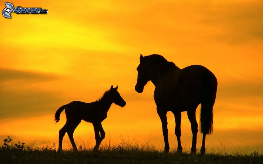 silhouettes of horses, foal