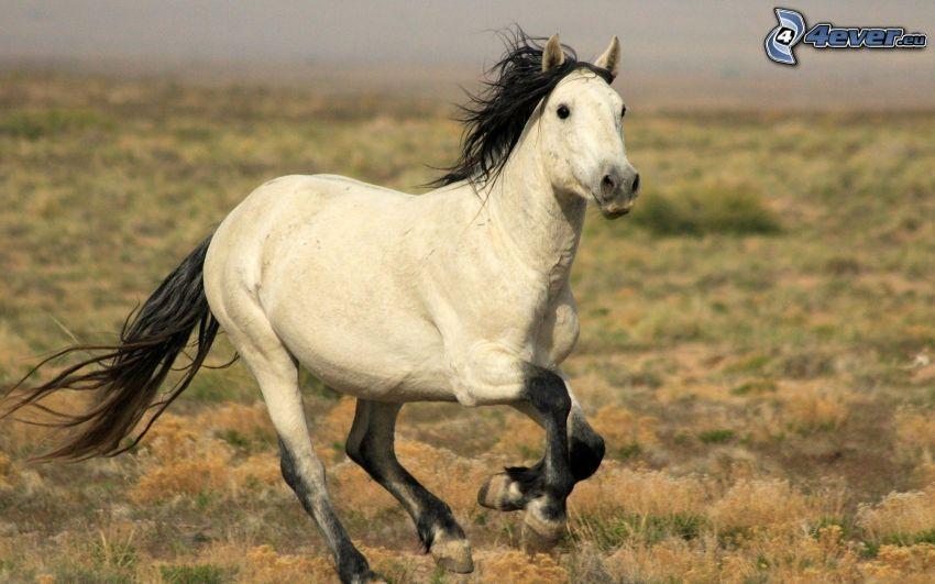 white horse, running horse