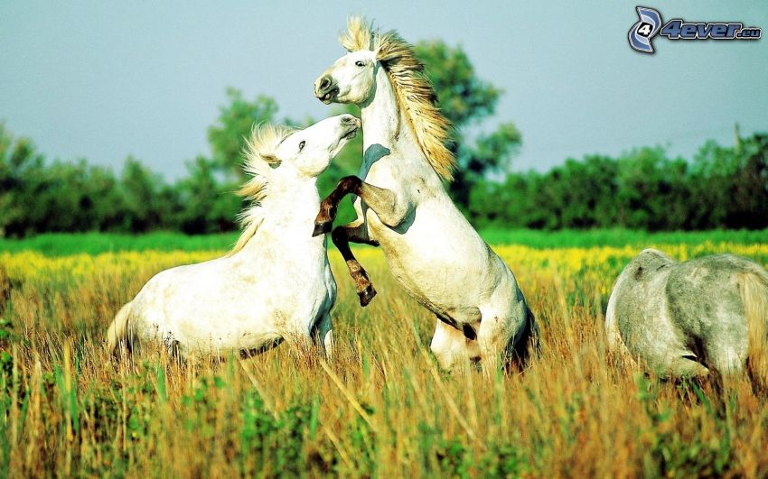 white horses, jump