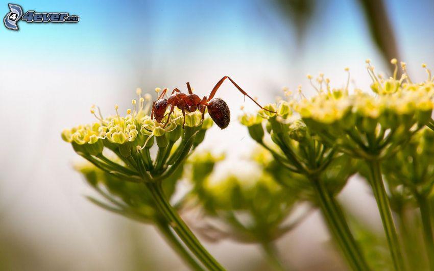 ant, flowers, macro