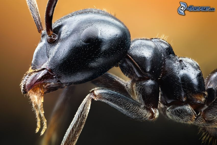 ant, macro