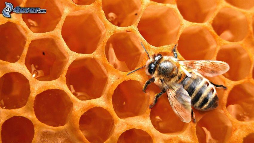 bee, beeswax