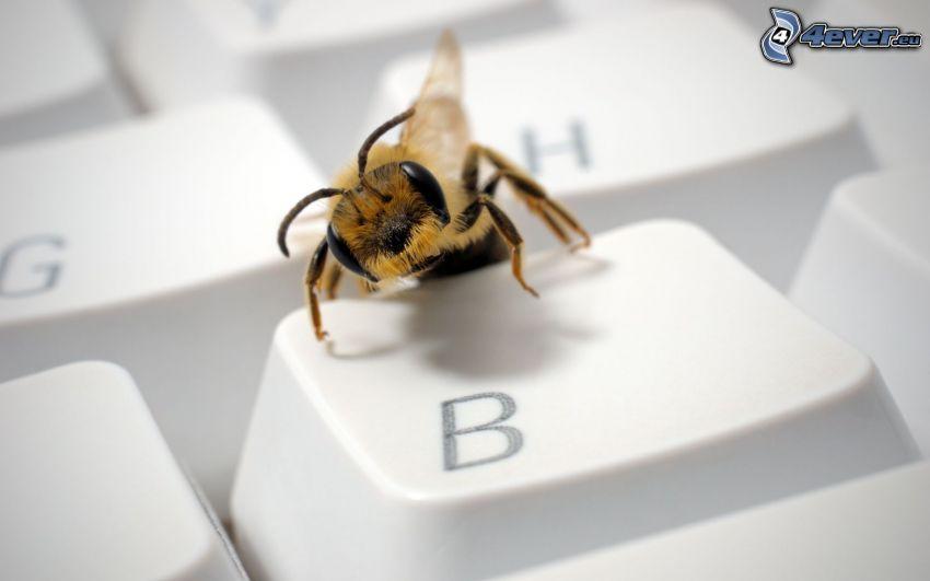 bee, keyboard