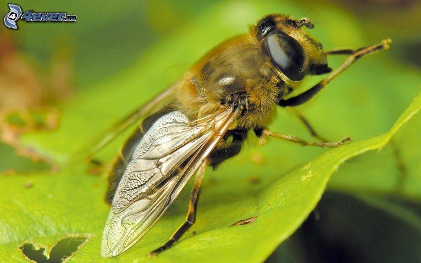 bee, leaf, macro
