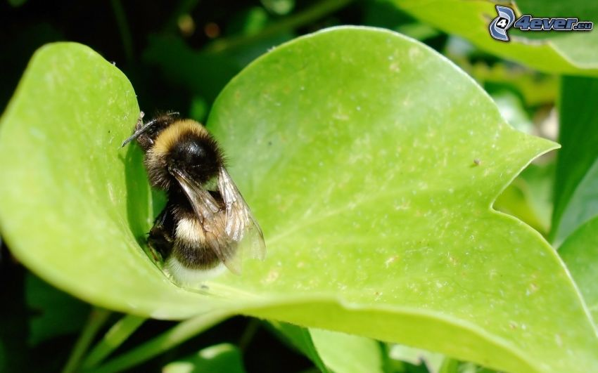 bee, leaf