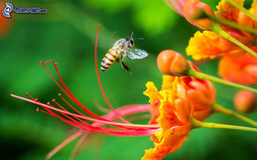 bee, orange flowers