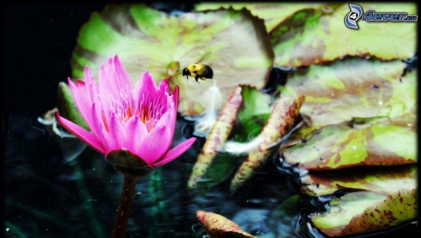 bee, pink flower, water lilies