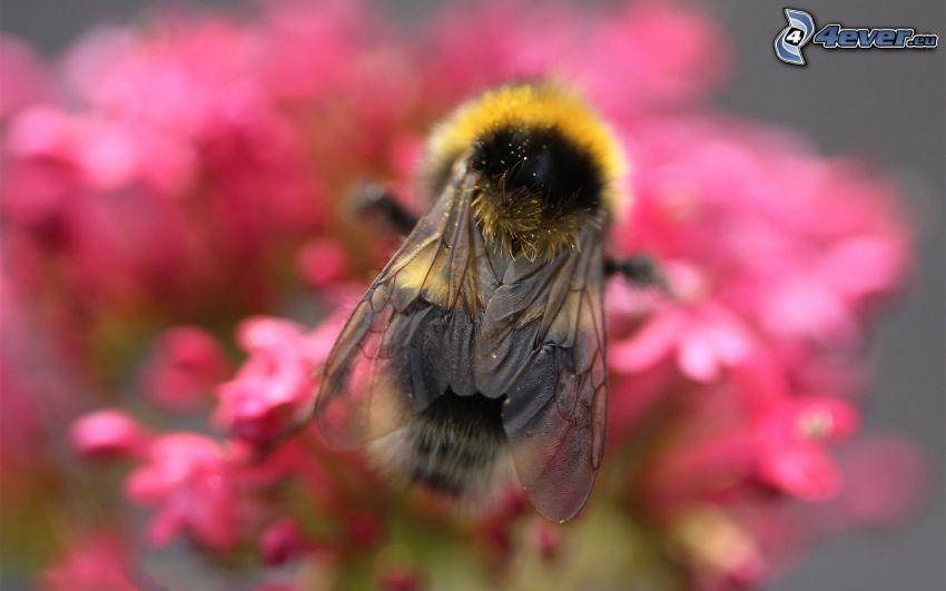 bee, pink flowers, macro