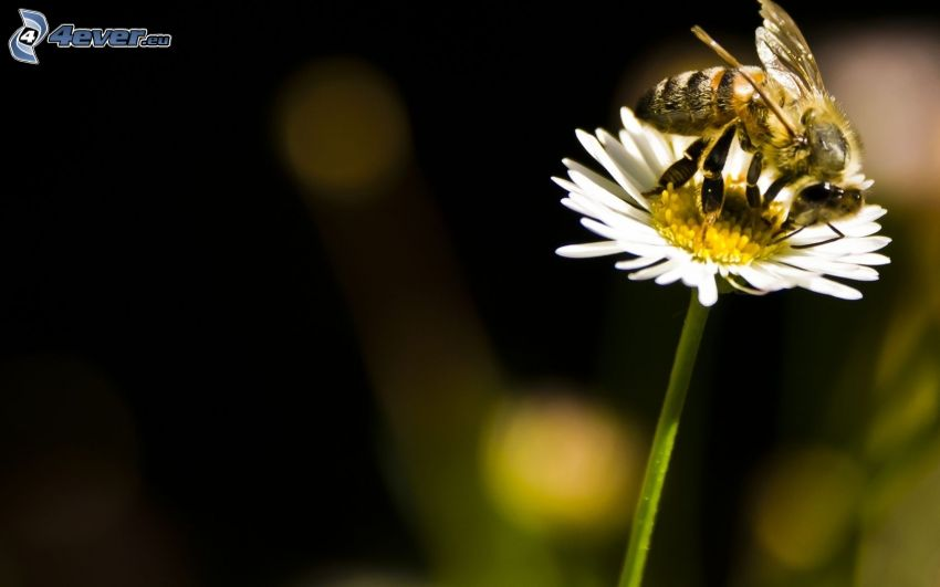 bee on flower, daisy