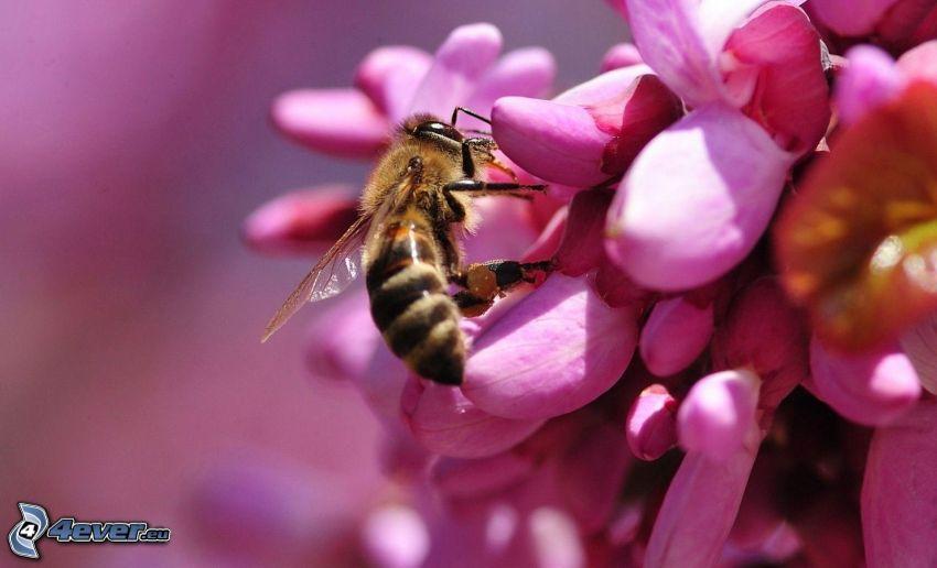 bee on flower, pink flower, macro