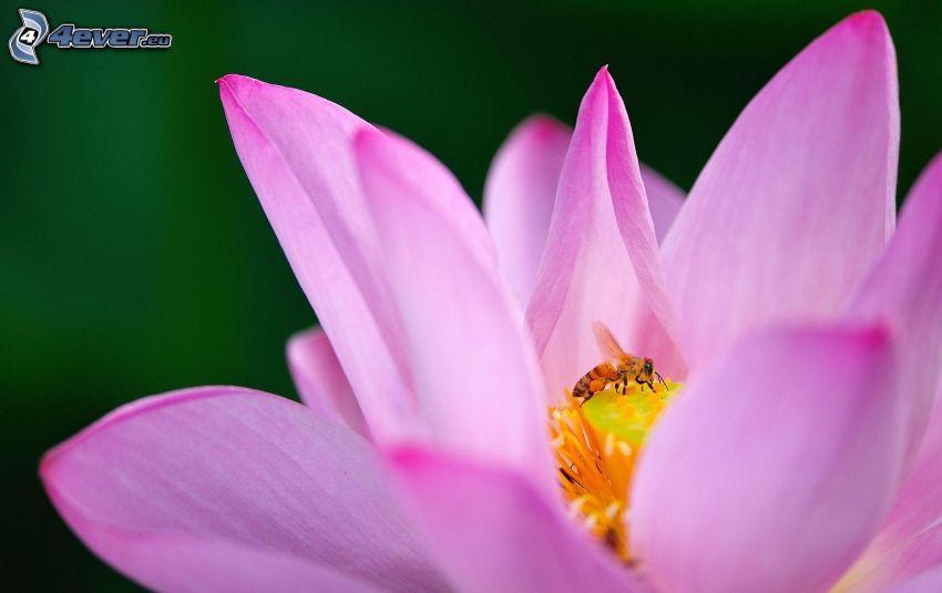 bee on flower, pink flower
