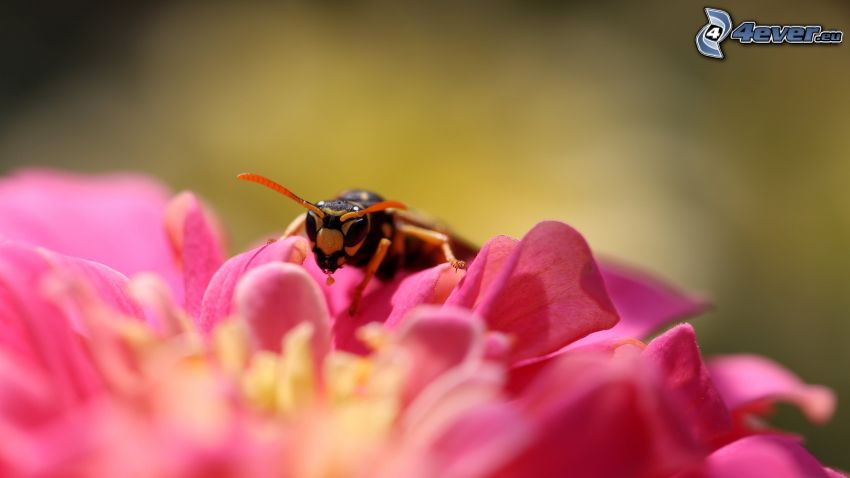 bee on flower, pink flower