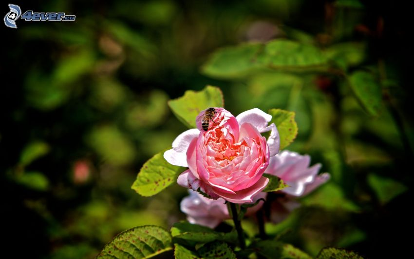 bee on flower, pink rose