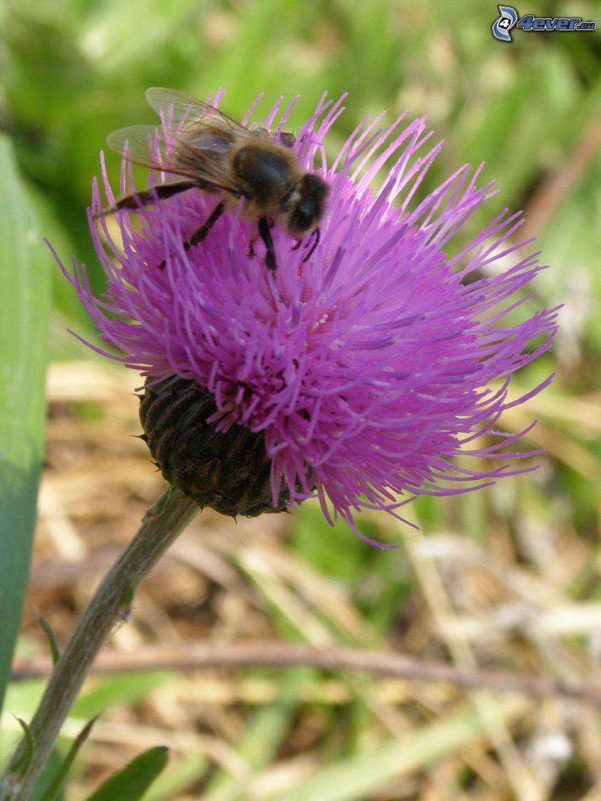 bee on flower, purple flower