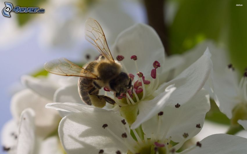 bee on flower, white flower, macro