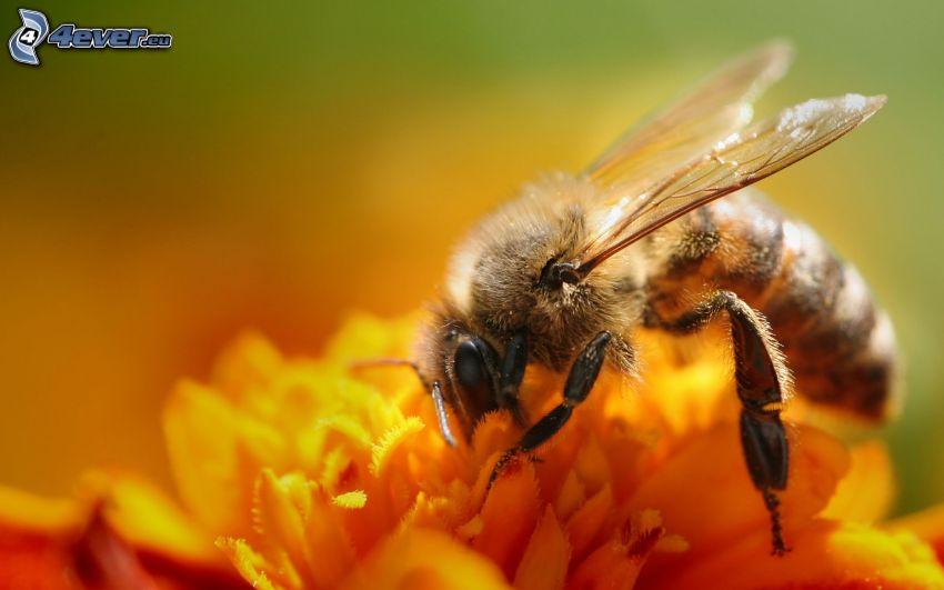 bee on flower, yellow flower, macro