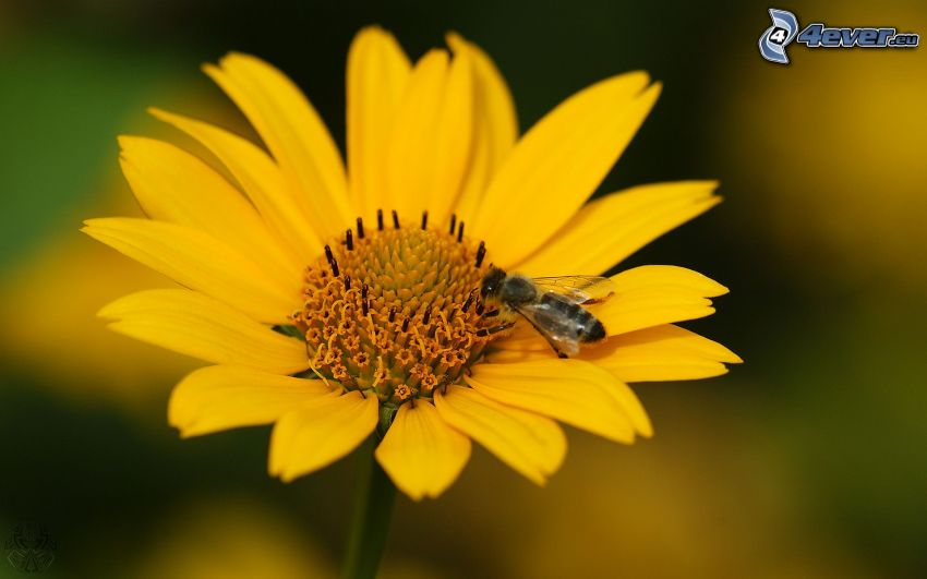 bee on flower, yellow flower