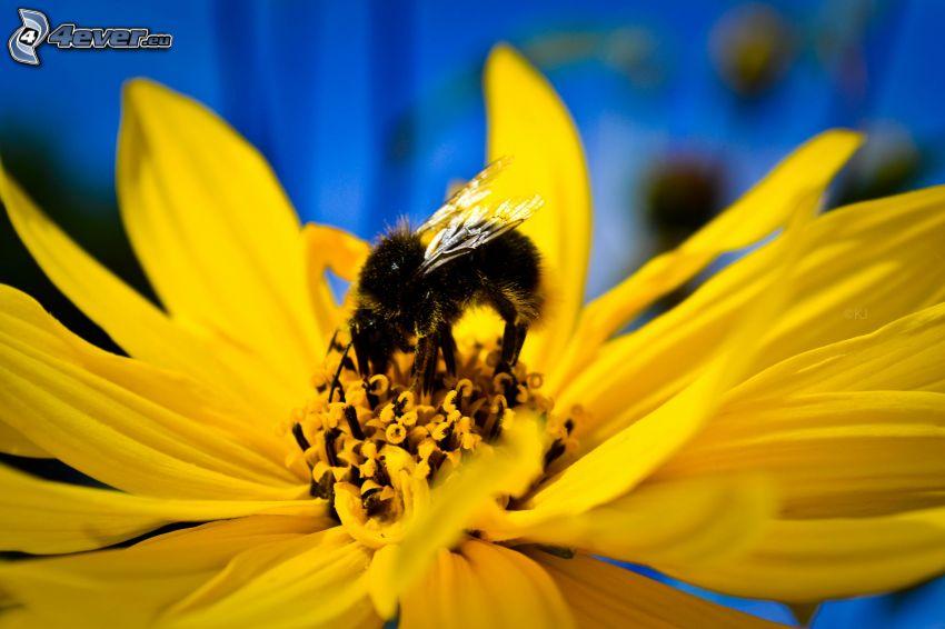 bee on flower, yellow flower