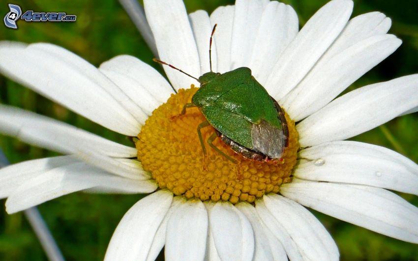 beetle, daisy, macro