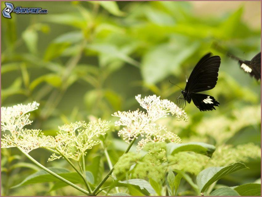 black butterfly, flowers