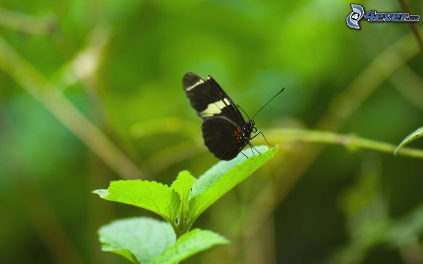 black butterfly, plant