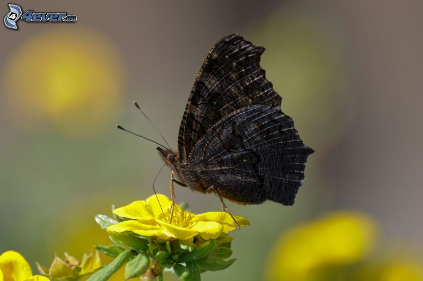 black butterfly, yellow flower