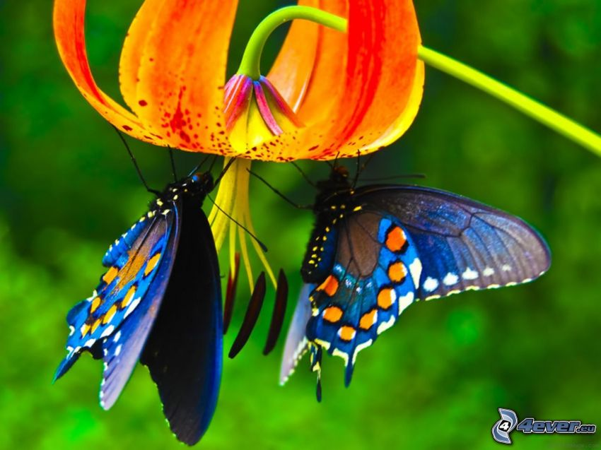 blue butterflies, flower