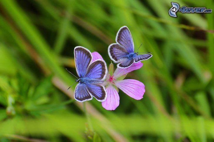 blue butterflies, flower