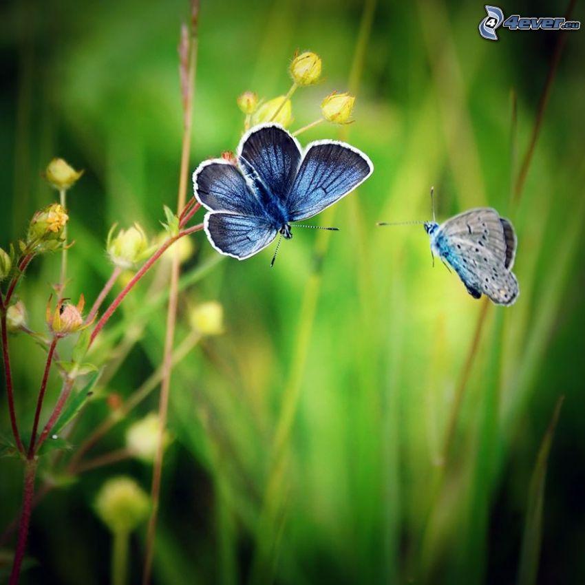 blue butterflies, plant