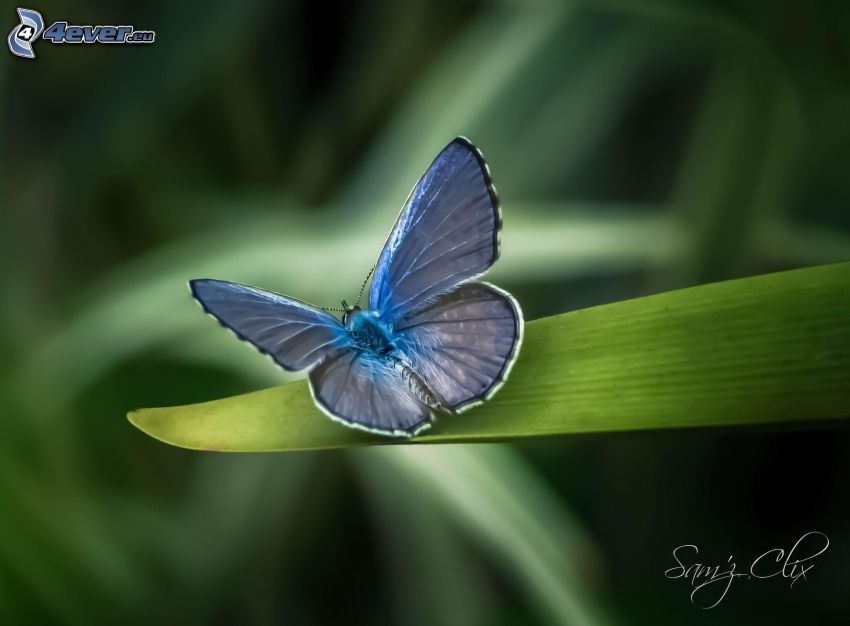 blue butterfly, green leaf
