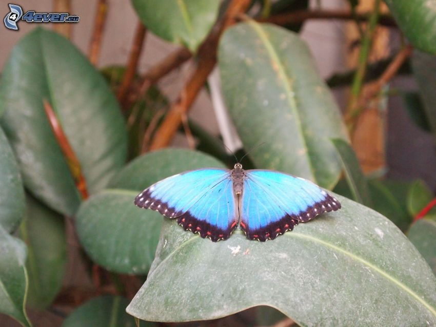 blue butterfly, leaf