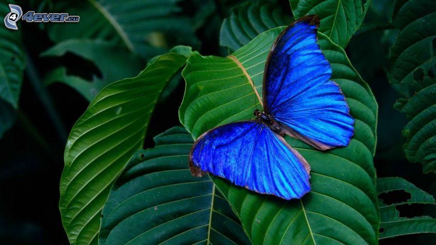 blue butterfly, leaves
