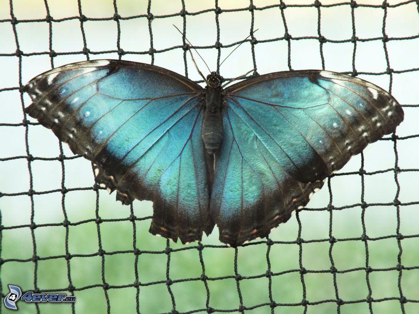 blue butterfly, net