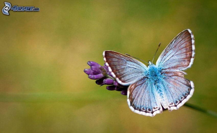 blue butterfly, purple flower