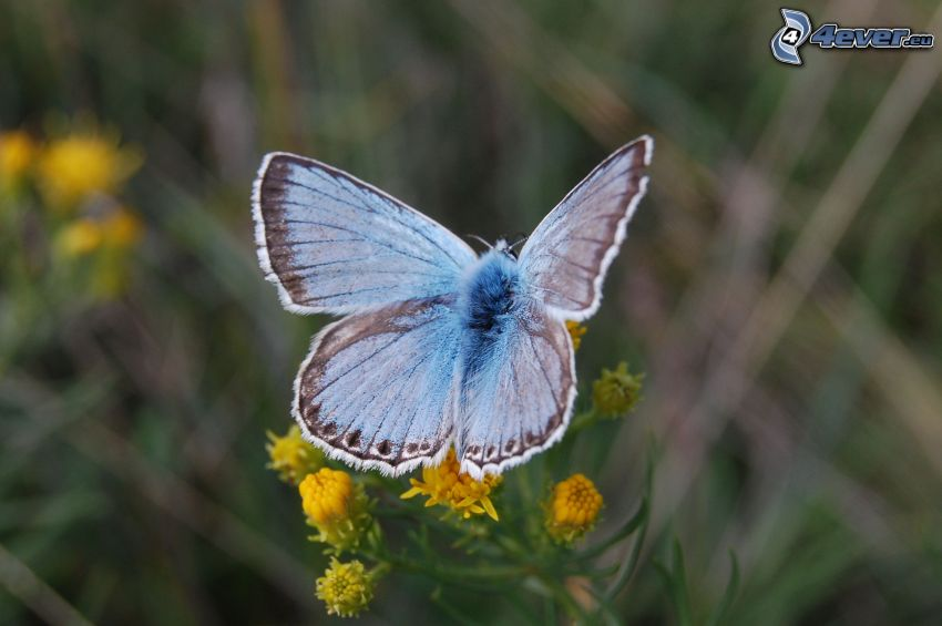 blue butterfly, yellow flowers