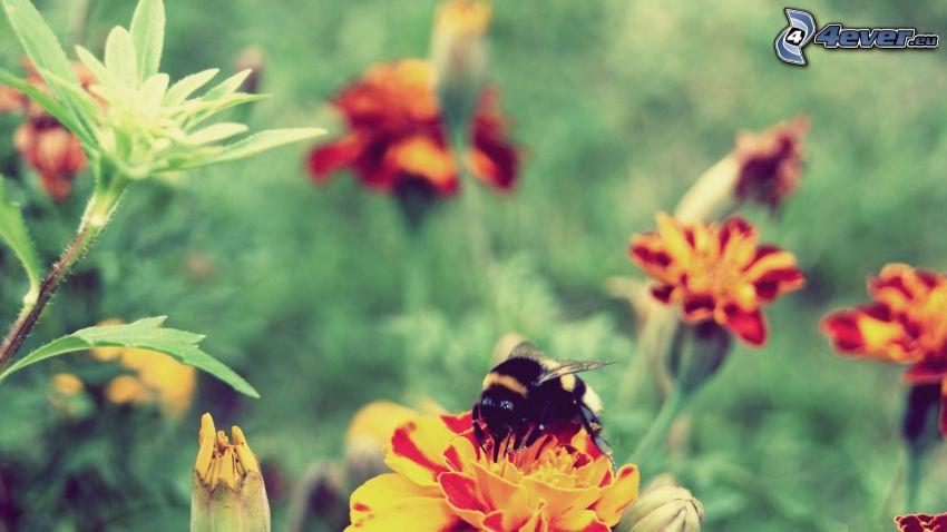 bumblebee, flowers