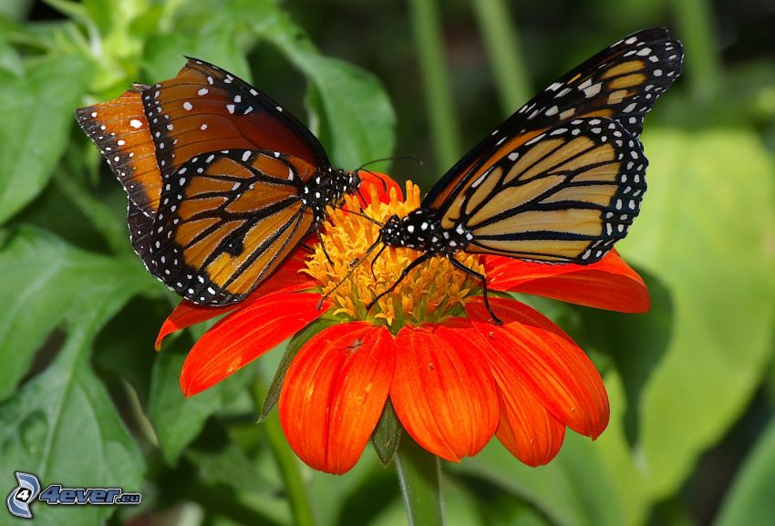 butterflies, orange flower
