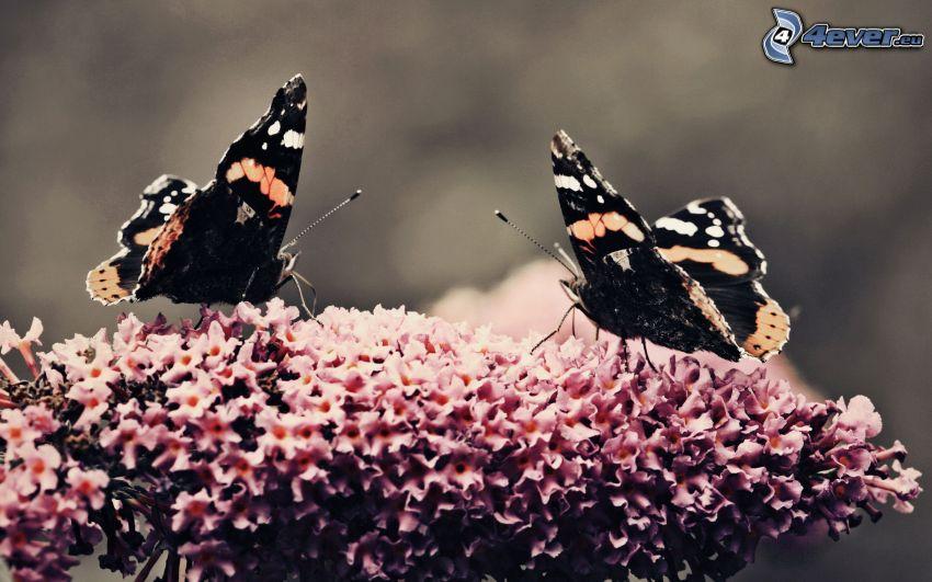 butterflies, pink flower