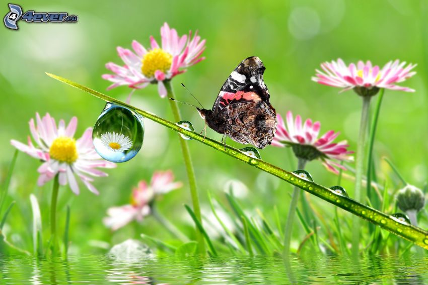 butterfly, blade, drop of water, daisies