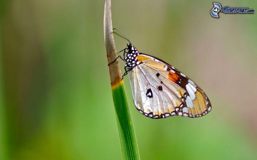 butterfly, blade of grass