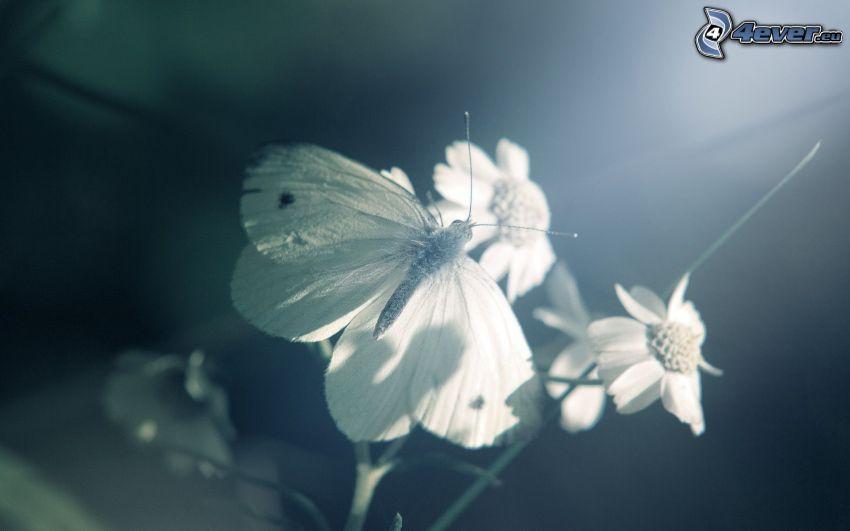 butterfly, flowers